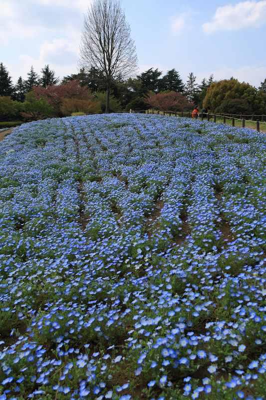 昭和記念公園の木々の緑が綺麗です_f0044056_8422552.jpg