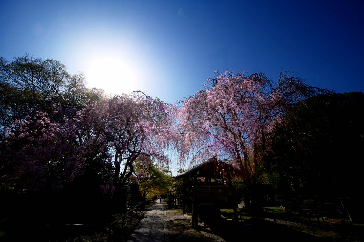桜 2011 京都 <養源院>_f0021869_233199.jpg