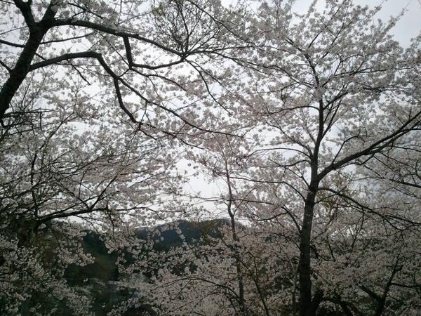 桜_a0141072_225317100.jpg