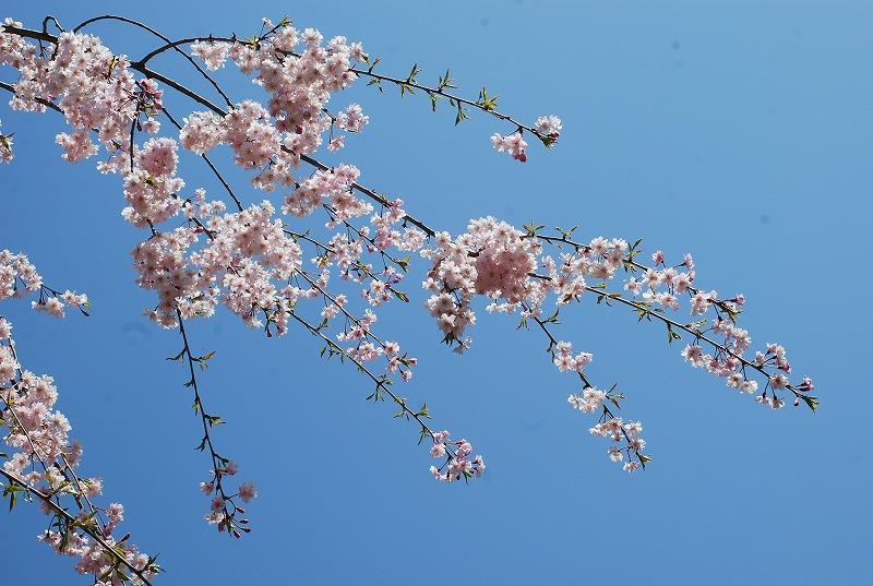 春の近所散策_c0187781_1818691.jpg