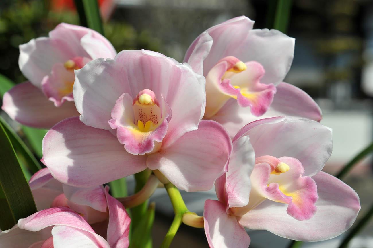 ランの花2011 壁紙写真_f0172619_1211590.jpg