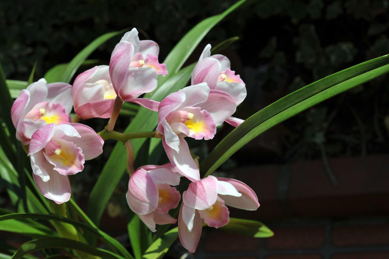ランの花2011 壁紙写真_f0172619_1225849.jpg