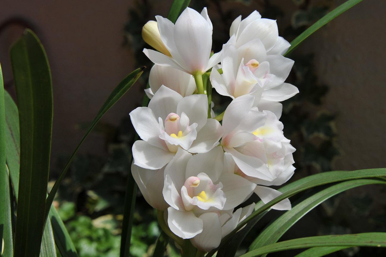ランの花2011 壁紙写真_f0172619_1233625.jpg