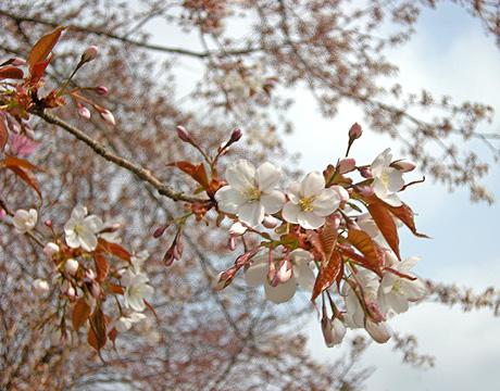 4月26日 山桜花_a0001354_17581968.jpg