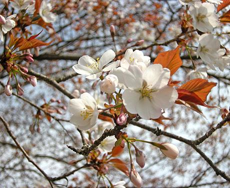 4月26日 山桜花_a0001354_17584155.jpg
