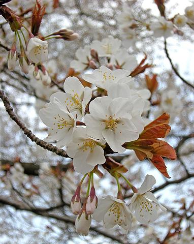 4月26日 山桜花_a0001354_17585738.jpg