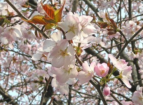 4月26日 山桜花_a0001354_17593282.jpg