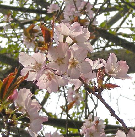 4月26日 山桜花_a0001354_17595361.jpg