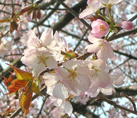 4月26日 山桜花_a0001354_1801153.jpg