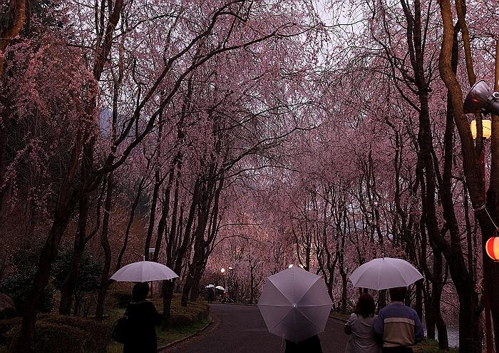 """""""しだれ桜の並木道""""NO.2_a0140608_1611225.jpg"""