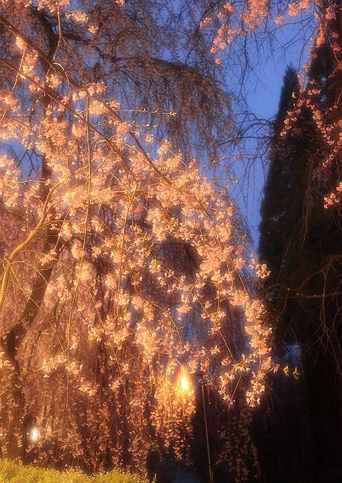 """""""しだれ桜の並木道""""NO.2_a0140608_161311100.jpg"""