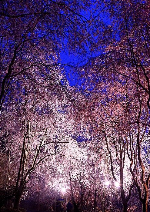 """""""しだれ桜の並木道""""NO.2_a0140608_1614234.jpg"""