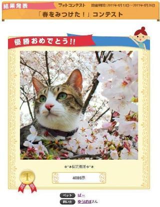 Yahoo!ペット「春をみつけた!」コンテスト優勝猫 ぽー空編。_a0143140_23313637.jpg
