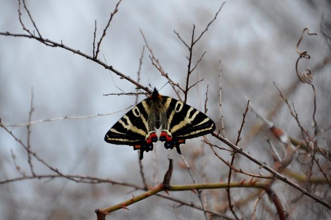 2011年4月の蝶_e0194952_13182960.jpg