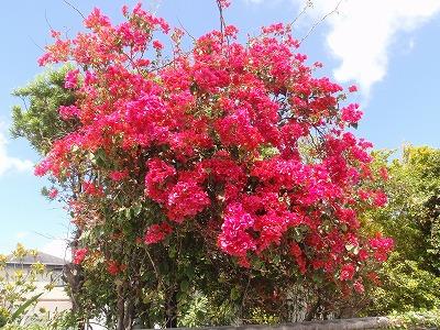 ブーゲンビレアの花盛り_c0180460_16341964.jpg