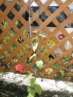 ブーゲンビレアの花盛り_c0180460_16381100.jpg