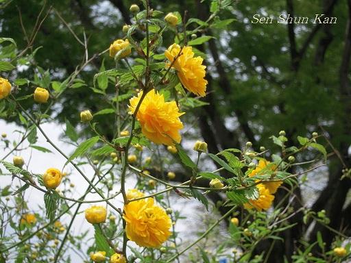 賀茂川の花_a0164068_1712887.jpg