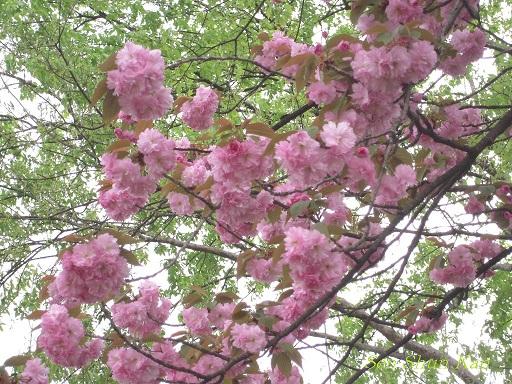 賀茂川の花_a0164068_1723047.jpg