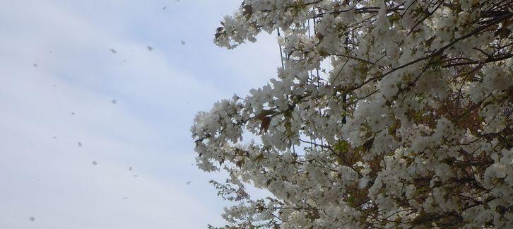 路傍の花、樹々の鳥 (15) ~ハナミズキ通り~_b0102572_9363141.jpg