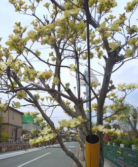 路傍の花、樹々の鳥 (15) ~ハナミズキ通り~_b0102572_938398.jpg