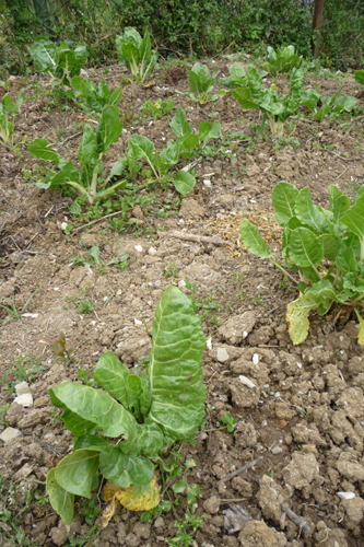 畑の野菜~4月の畑_f0106597_1742165.jpg