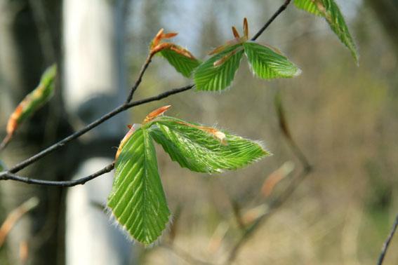 アトリエの庭:ブナの葉が芽吹く_e0054299_10111376.jpg