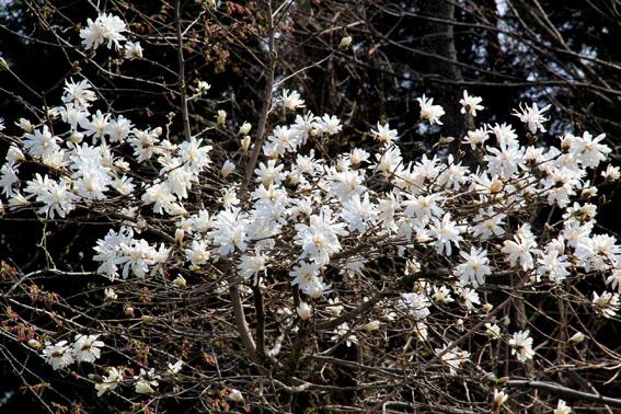 アトリエの庭:ブナの葉が芽吹く_e0054299_10112690.jpg