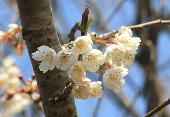 アトリエの庭:ブナの葉が芽吹く_e0054299_10115860.jpg