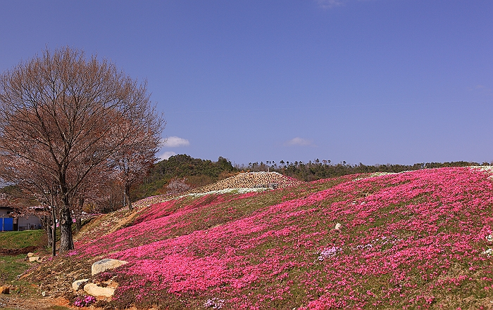 """""""春あざやか、夢の芝桜"""" NO.2_a0140608_95698.jpg"""