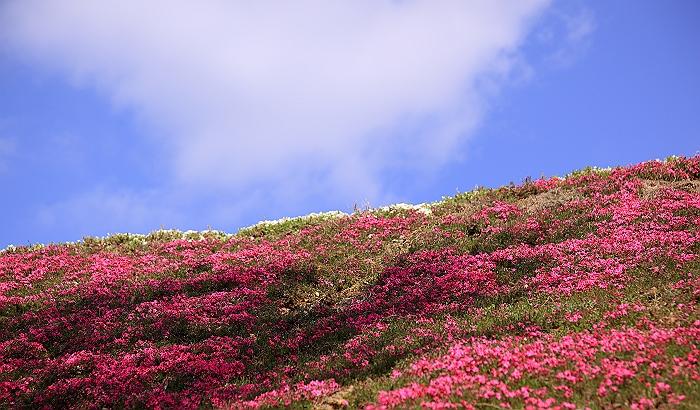 """""""春あざやか、夢の芝桜"""" NO.2_a0140608_964961.jpg"""