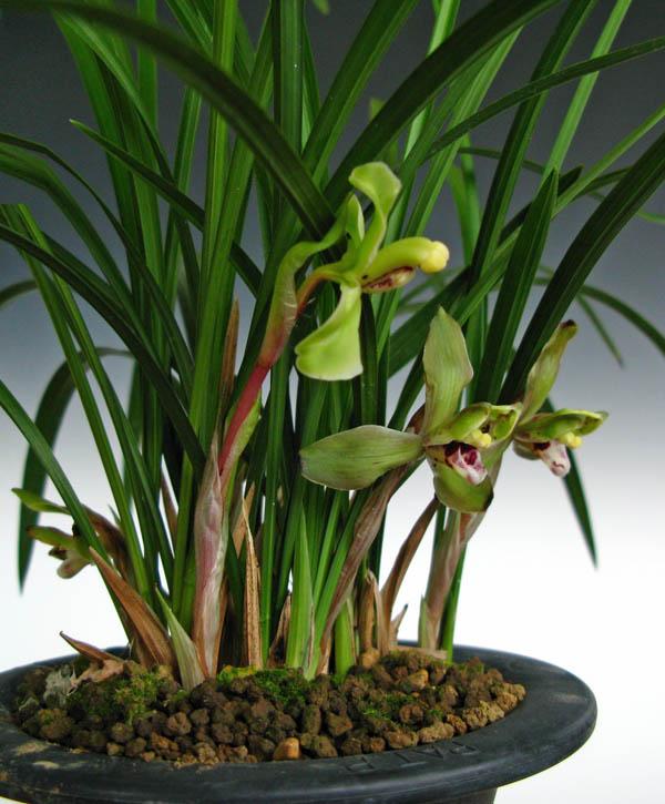 中国蘭(朶々香)紫兜花                No.411_f0178953_2334590.jpg