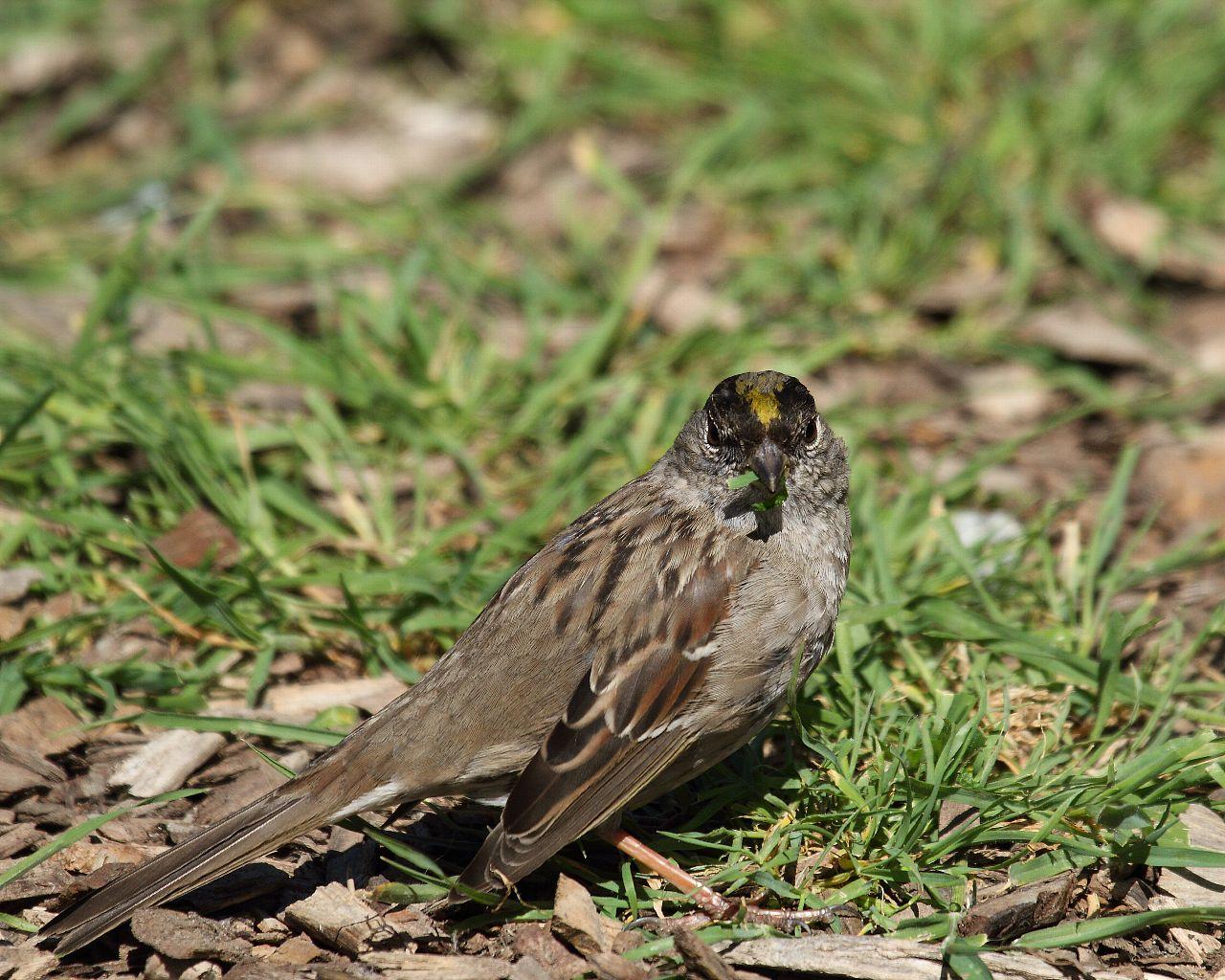珍鳥のキガシラシトド、今年は3箇所で撮影!_f0105570_21213420.jpg