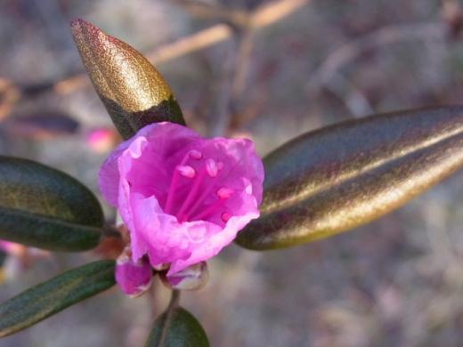 2011年4月29日(金):ツツジが開花!_e0062415_19483486.jpg