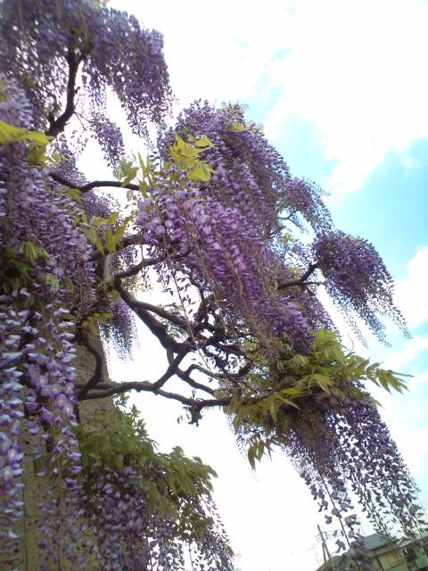 藤の花が美しい_b0032617_14242835.jpg