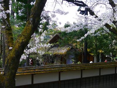 桜満開の鶴ヶ城_f0032130_1739580.jpg