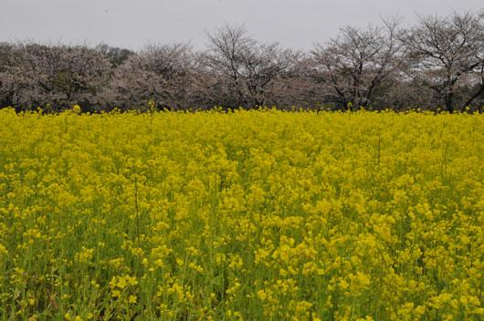 春の花達(1)_c0093046_15441188.jpg