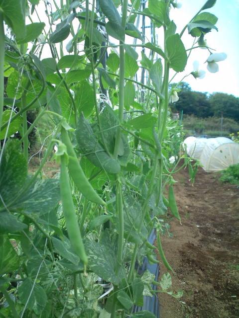 豌豆が生ってきた_c0222448_1072055.jpg