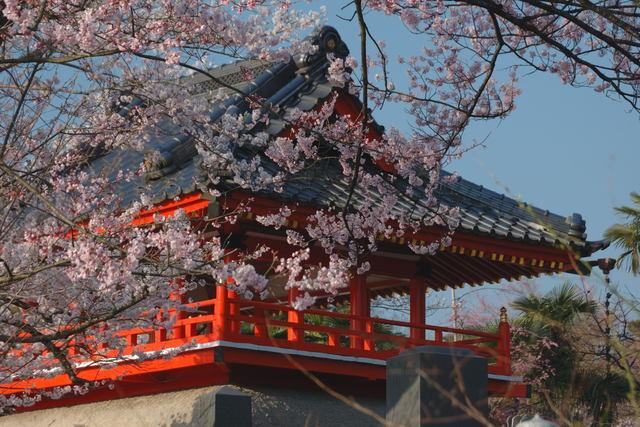 満開の花々 桜と紅梅  _b0223668_11122198.jpg