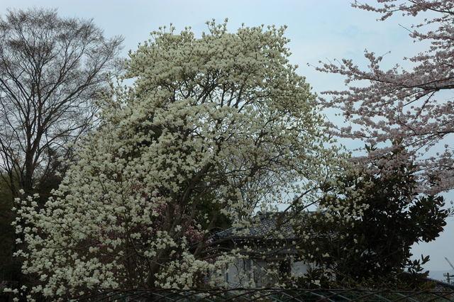 満開の花々 桜と紅梅  _b0223668_1113790.jpg