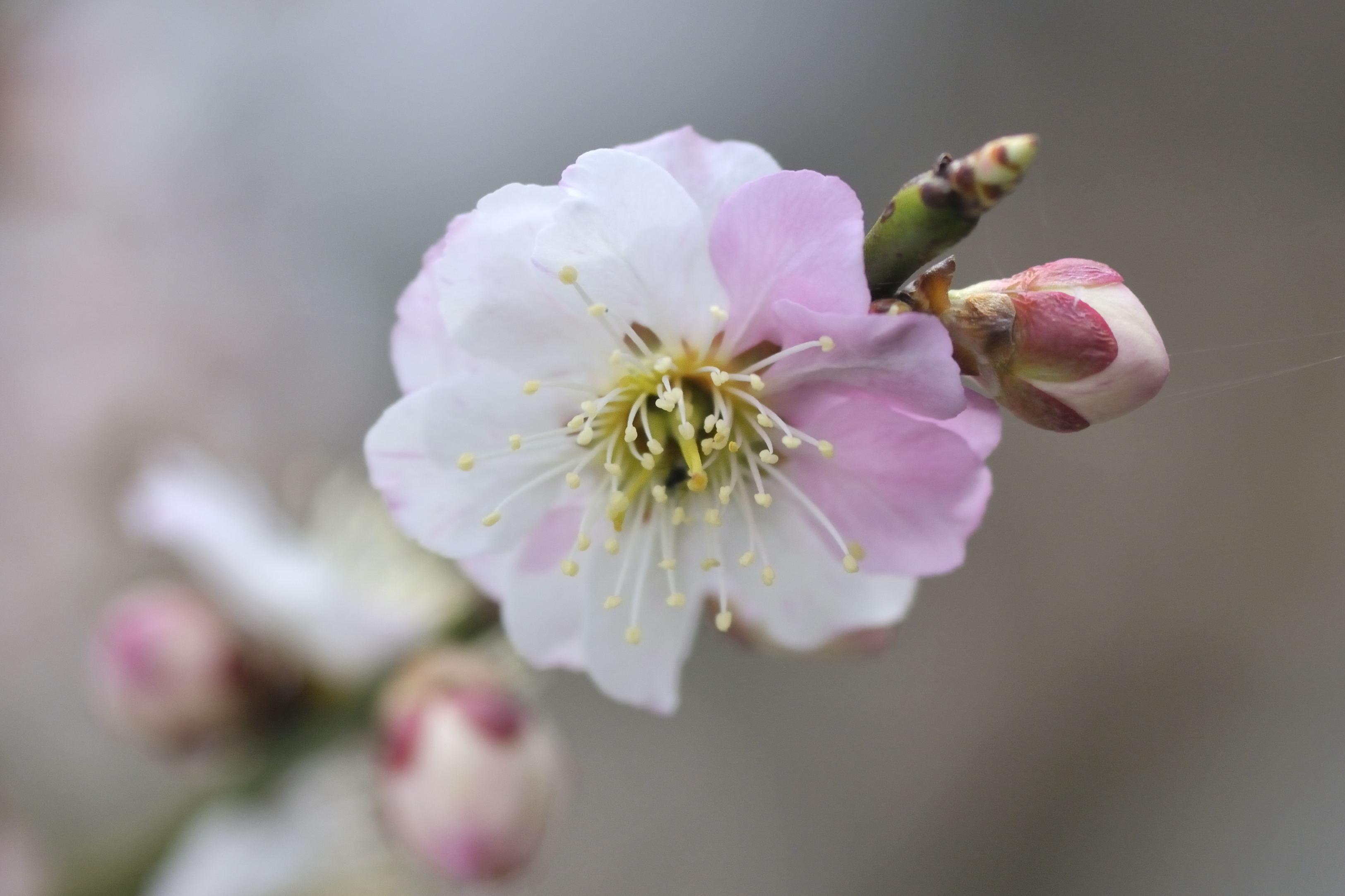 満開の花々 桜と紅梅  _b0223668_1193727.jpg