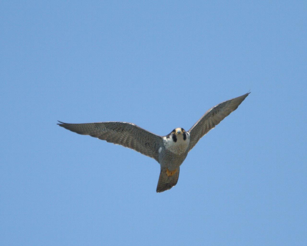 伊良湖で逢えそうな猛禽達_f0105570_2304165.jpg