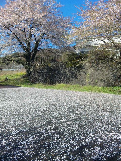 桜絨毯_f0186787_2210337.jpg