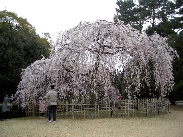 京都花見旅行5_a0047004_13532583.jpg