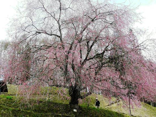 小川村の桜_d0066822_14294235.jpg
