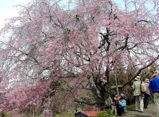 小川村の桜_d0066822_14473964.jpg