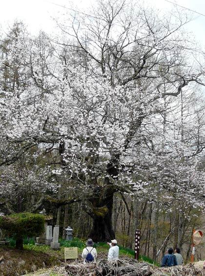 小川村の桜_d0066822_8172989.jpg
