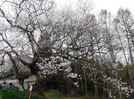 小川村の桜_d0066822_817898.jpg
