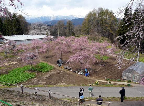 小川村の桜_d0066822_8242598.jpg