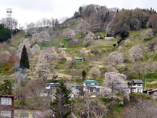 小川村の桜_d0066822_8513650.jpg