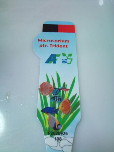Microsorium ptr.Trident(AFR便)_e0213248_21264854.jpg